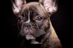 French bulldog puppy on black. French bulldog puppy, 3,5 moumth old, on black background Stock Image