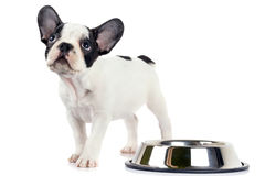 French bulldog puppy with bowl Stock Photo