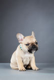French Bulldog Puppy with Bright Blue Collar Royalty Free Stock Photos