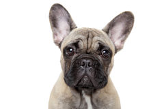 French bulldog puppy close-up portrait Stock Photos