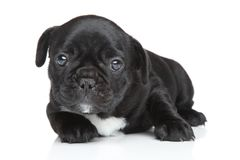 French bulldog puppy close-up portrait Royalty Free Stock Image