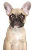 French bulldog puppy close-up portrait Stock Images