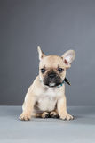 French Bulldog Puppy Cocking His Ear Royalty Free Stock Photo