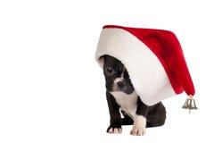 French Bulldog puppy. Royalty Free Stock Photo