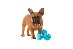 French Bulldog puppy on diet Royalty Free Stock Photo