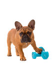 French Bulldog puppy on diet Royalty Free Stock Image