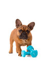 French Bulldog puppy on diet royalty free stock photos