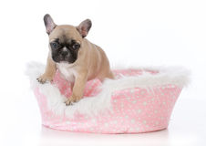 French bulldog puppy in dog bed Royalty Free Stock Images