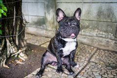 French bulldog puppy dog chained at tree. Portrait of black French bulldog puppy chained on the tree. Adorable purebred dog in park. Do not enter stock photos