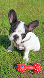 French bulldog puppy and dog toy. In green grass Stock Images