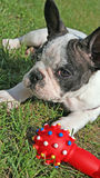 French bulldog puppy and dog toy Royalty Free Stock Images