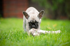 French bulldog puppy eating a big bone Stock Photography