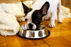 The French bulldog puppy eating food from a bowl Stock Image