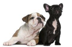 French Bulldog puppy and English Bulldog puppy Royalty Free Stock Photography