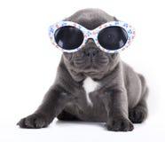 Free French Bulldog Puppy French Bulldog Puppy In Sungl Royalty Free Stock Image - 20653306
