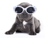 French bulldog puppy french Bulldog puppy in sungl Royalty Free Stock Image