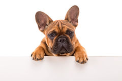 French Bulldog puppy. Funny French Bulldog puppy over a white banner, isolated royalty free stock image