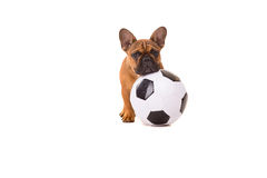 French Bulldog puppy Royalty Free Stock Images
