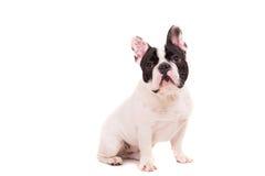French Bulldog puppy Stock Photos
