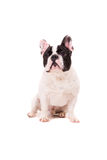 French Bulldog puppy Royalty Free Stock Photos