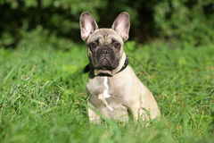 French Bulldog puppy in grass Royalty Free Stock Image