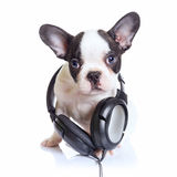 French bulldog puppy with headphones Stock Photos