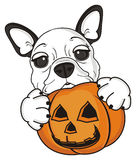French bulldog puppy. French bulldog holding in his paws a pumpkin Stock Photography