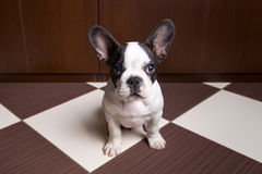 French bulldog puppy at home. Portrait of French bulldog puppy at home Stock Photos