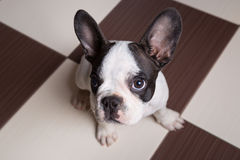 French bulldog puppy at home Stock Images