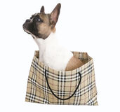French bulldog Puppy  inside shopping bag. Isolated backgrounf Royalty Free Stock Photography