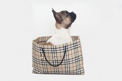 French bulldog Puppy inside shopping bag , isoltated Stock Image