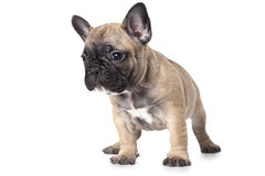 French bulldog puppy isolated on white background Stock Photos