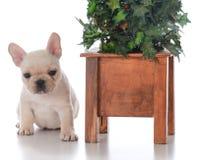 Dog beside christmas tree. French bulldog puppy laying beside christmas tree on white background Stock Images