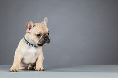 French Bulldog Puppy Leaning to the Side Royalty Free Stock Photography
