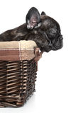 French bulldog puppy lies in basket Stock Photos