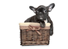 French bulldog puppy lies in basket Royalty Free Stock Photo