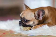 French Bulldog puppy lies on a fur carpet and gnaws at dog food. Portrait picture of a French Bulldog puppy who lies on a fur carpet and gnaws at dog food Stock Photo