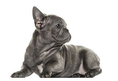 French bulldog puppy looking backwards, isolated Royalty Free Stock Image