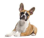 French Bulldog puppy looking at the camera Royalty Free Stock Photos