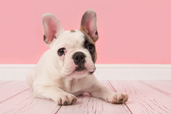 French bulldog puppy looking at the camera lying on the floor in a pink living room setting. Cute french bulldog puppy looking at the camera lying on the floor stock photo