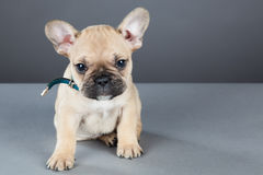 French Bulldog Puppy Looking Up at Camera Stock Image