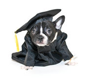 Silly French Bulldog Wearing Cap and Gown Stock Photo