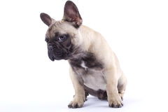 French Bulldog Puppy Louis III Royalty Free Stock Photos