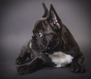 French Bulldog puppy lying Royalty Free Stock Images