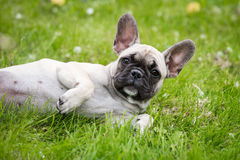French bulldog puppy lying down Royalty Free Stock Photo