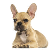 French Bulldog puppy lying down, isolated Stock Photography
