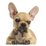 French Bulldog puppy lying down, looking at the camera, isolated Stock Photos