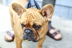 Cute Frenchie on a dog walk in the city Stock Photography