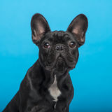 French Bulldog puppy (3 months old), headshot, blue background Stock Images
