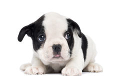French Bulldog Puppy, 2 months old Stock Image